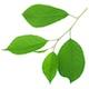 Листья вишни свежие